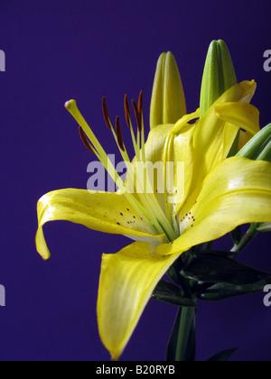 lilium flower close up, Azucena - Stock Photo