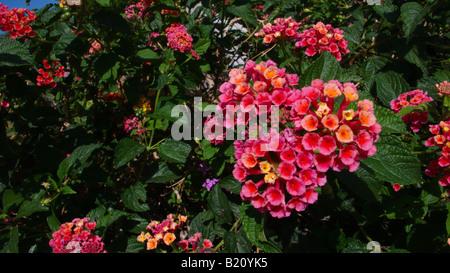 Lantana camara - drought tolerant plant ideal for xeriscaping - Stock Photo