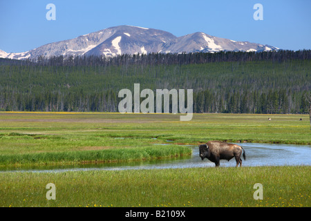 Bison in field near Madison Yellowstone National Park - Stock Photo