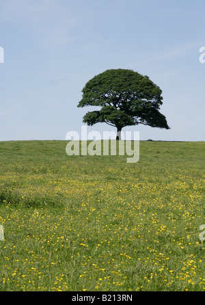 Lone tree standing in a meadow of buttercups against a blue sky. - Stock Photo
