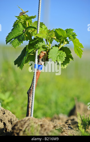 Young grapevine - Stock Photo