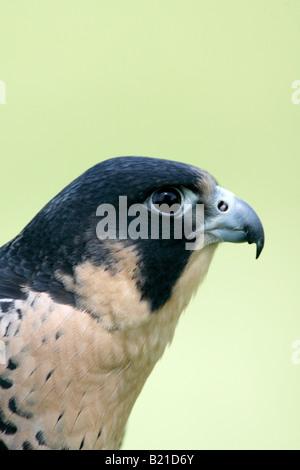 Peregrine Falcon Captive Vertical - Stock Photo