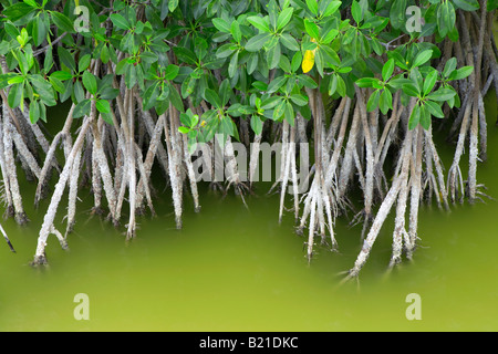 Mangrove growing in shallow water in the Everglades National Park in Florida - Stock Photo