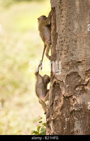Young Olive Anubis Baboons Papio anubis playing in Lake Manyara National Park Tanzania - Stock Photo