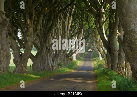 Tree lined road known as the Dark hedges near Stanocum County Antrim Northern Ireland GB UK EU Europe