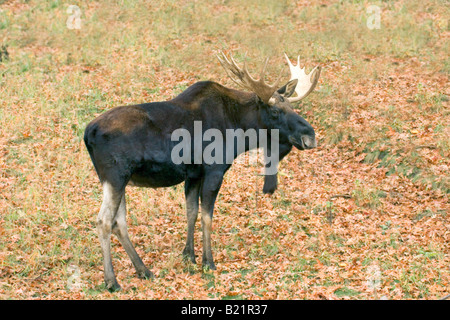 Moose Alces alces Minnesota Zoo Apple Valley Minnesota United States 5 November Adult Male Cervidae - Stock Photo