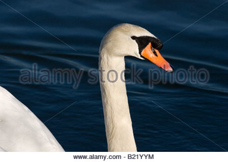 Mute Swan on lake - Stock Photo