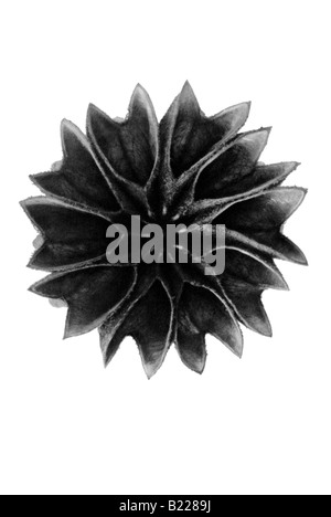 Flowering maple Archetypes of Art Karl Blossfeldt Urformen der Kunst - Stock Photo