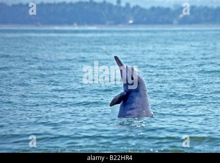 0970 Dolphin watching Goa State India - Stock Photo
