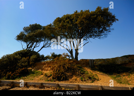 Two trees on beach against blue sky at Lepe Hampshire England UK - Stock Photo