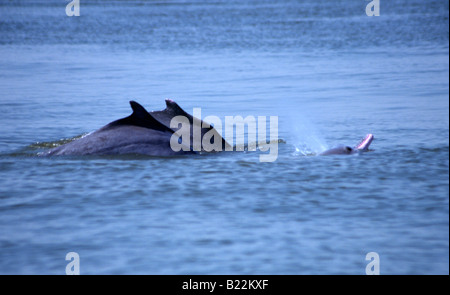 0971 Dolphin watching Goa State India - Stock Photo