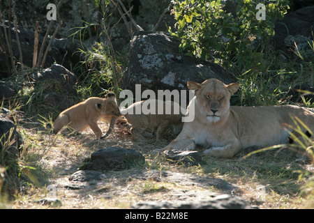 A lioness and her cubs at sunrise in the Masai Mara Kenya Africa.