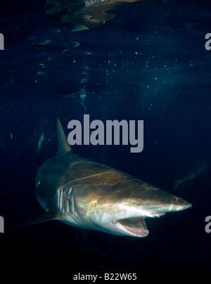 blacktip shark Carcharhinus limbatus Aliwal Shoal Kwazulu Natal South Africa Indian Ocean - Stock Photo