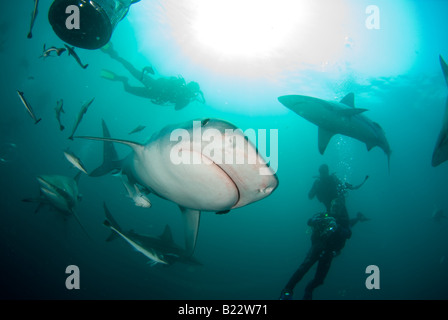 tiger shark and scuba diver Galeocerdo cuvier Aliwal Shoal Kwazulu Natal South Africa Indian Ocean