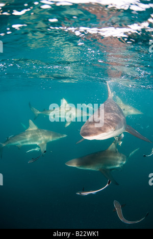 blacktip sharks Carcharhinus limbatus Aliwal Shoal Kwazulu Natal South Africa Indian Ocean - Stock Photo