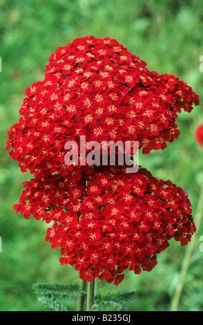 Achillea 'Faust' red flower garden plant - Stock Photo