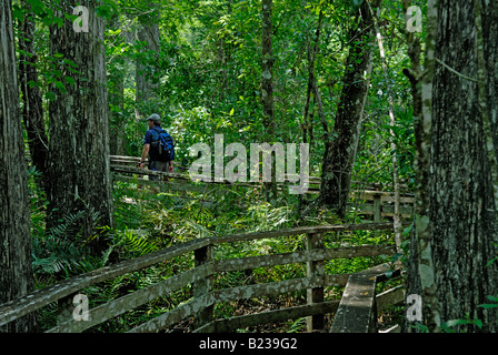 Man walking on a boardwalk nature trail through a forest of old growth bald cypresses  Corkscrew Swamp Audubon Sanctuary - Stock Photo