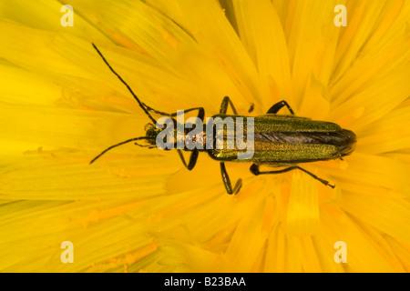 Female Thick-legged Flower Beetle (Oedemera nobilis)