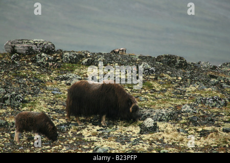 Adult and young muskox eating in Dovrefjell, Norway - Stock Photo