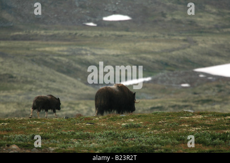 Adult and young muskoxen walking in Dovrefjell, Norway - Stock Photo