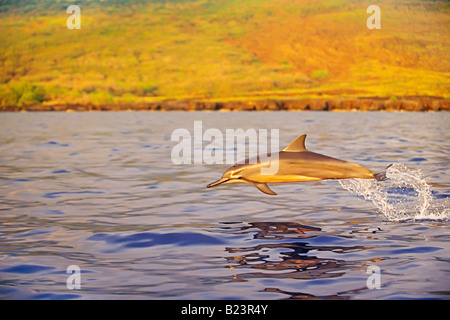 Long-snouted Spinner Dolphin Calf Porpoising - Stock Photo