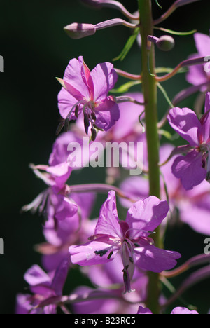fireweed blooming sally rosebay willow herb great willow herb Epilobium angustifolium blooming - Stock Photo