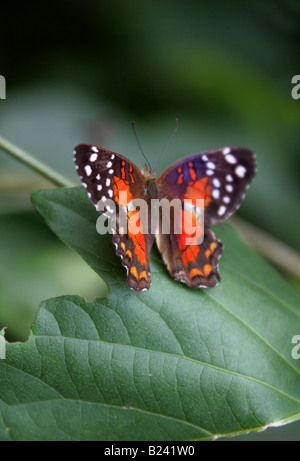 Brown Peacock or Scarlet Peacock Butterfly Anartia amathea Nymphalidae aka The Coolie - Stock Photo