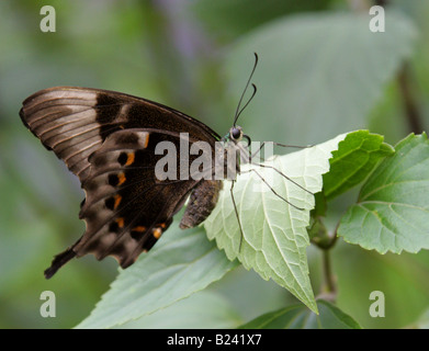 Emerald or Green-banded Swallowtail Butterfly (underside), Papilio palinurus, Papilionidae - Stock Photo