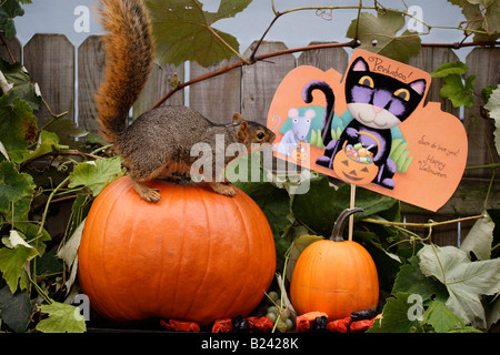 Halloween squirrel and pumpkins USA humor - Stock Photo