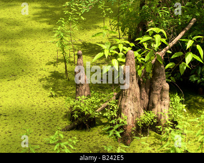 Bald cypress knees Heron Pond Cache River State Natural Area Southern Illinois - Stock Photo