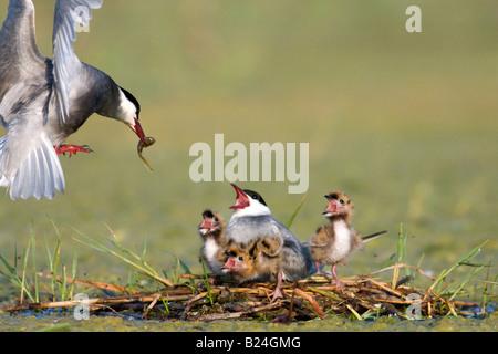 whiskered tern Chlidonias hybrida in flight feeding three chicks in nest - Stock Photo