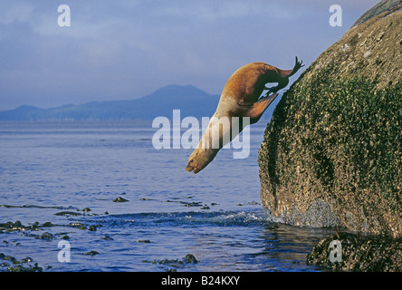 Portrait of a Stellars Sea Lion leaping into the Pacific of the Inside Passage on the western coast of British Columbia - Stock Photo