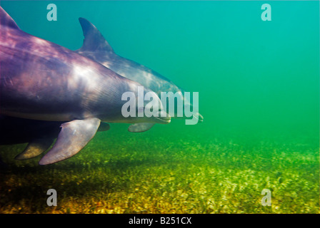 Atlantic bottlenose dolphin Tursiops truncatus in the wild [Andros Island] Bahamas - Stock Photo