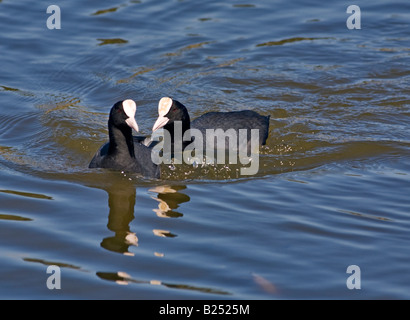 Pair of Breeding Coots (fulica atra) swimming together - Stock Photo