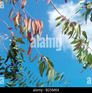 Eucalyptus Leaves and Blue Sky - Stock Photo