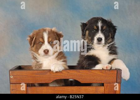 two australian shepherd puppies - sitting in chest - Stock Photo