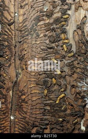 spruce bark beetles - at bole / Ips typographus - Stock Photo