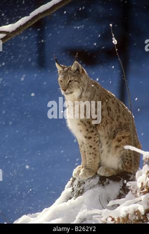 lynx - sitting in snow - Stock Photo