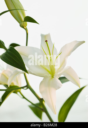 Close up of lily - Stock Photo