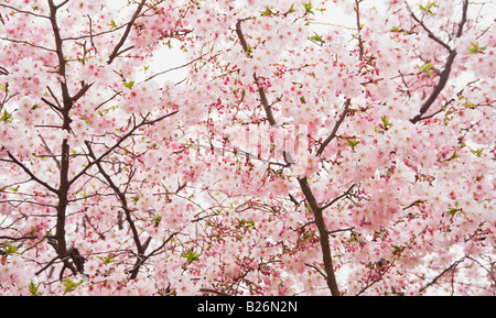 Cherry blossoms on branches - Stock Photo