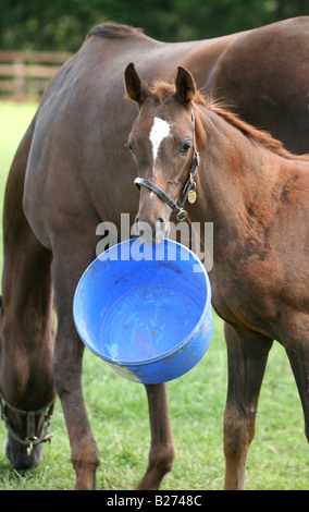 Foal and playing with its empty feed bucket in a paddock on a Stud Farm for race horses www.georgeimpeyphotgrapher.co.uk - Stock Photo