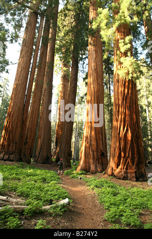 Sequoia National Park – Hiker on a path in the middle of a Redwood Grove of Giant Trees - Stock Photo
