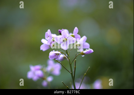 Lady s Smock or Cuckoo Flower - Stock Photo
