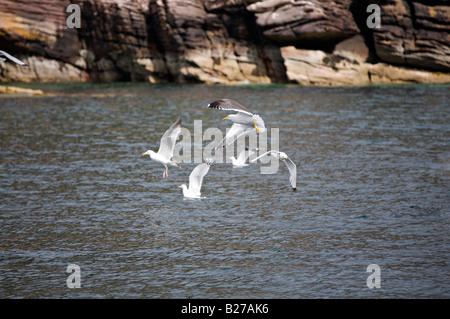 Group of seagulls near Ullapool, Scotland - Stock Photo