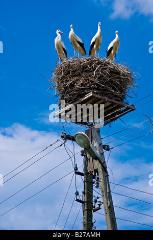 A stork family in a nest on a lighting pole - Stock Photo