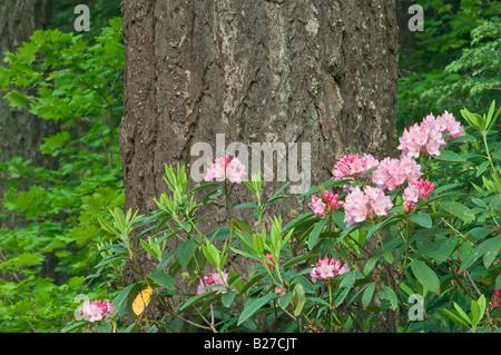 Rhododendron and Douglas fir Cascade Mountains Oregon - Stock Photo