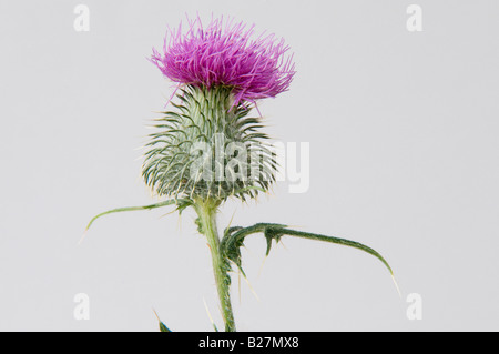 Purple Thistle - National Emblem of Scotland - Taken in Studio - Stock Photo