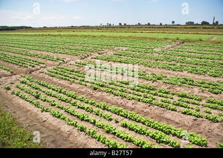High angle view of basil farm, Florida, United States - Stock Photo