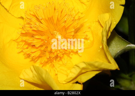 Yellow Snake Vine Flower Close Up - Stock Photo