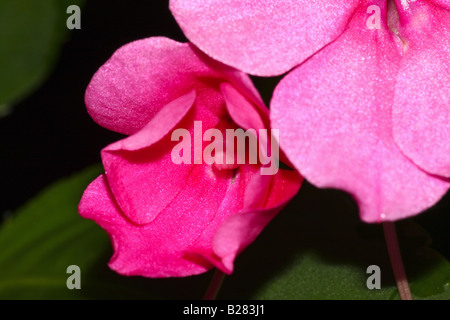 Pink Impatient Close Up - Stock Photo